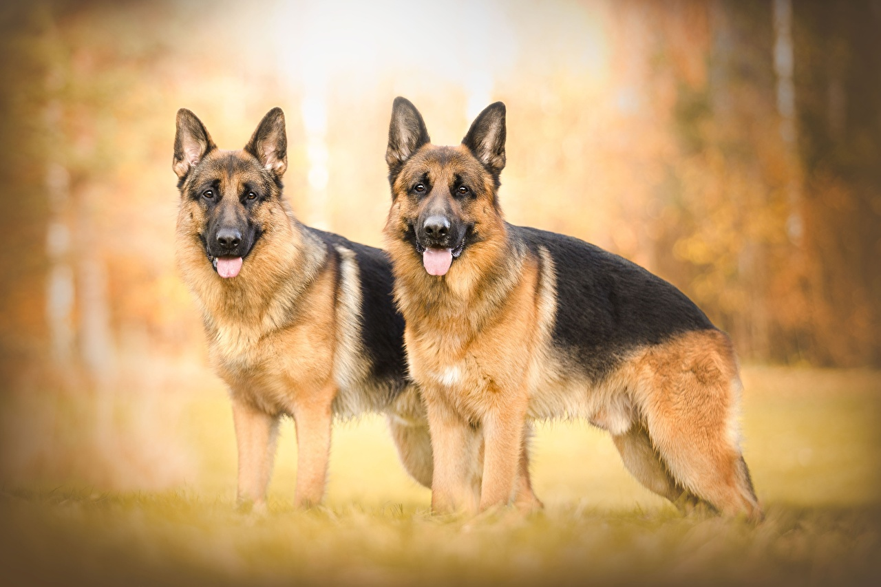 Dogs_German_Shepherd_Two_540046_1280x853