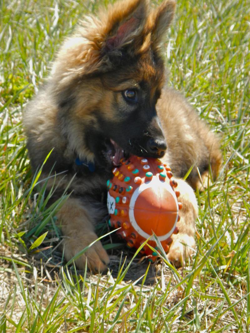 SHILOH_puppy_training.206143914_std